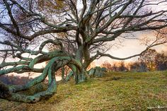 A gnarled tree rests on a hillside near the Blue Ridge Parkway in Floyd, Virginia ~ Photographed by Jonathan Kingston  #etsy #tree #photography