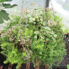 Hanging succlent pot ~ Blossom Wild Herb Lavender Farm