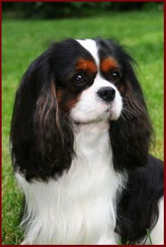 Gorgeous Tri Colored Cavalier King Charles Spaniel...love my antique glass spanials as well.