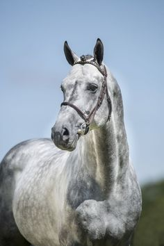 Dapple gray horse - warmblood stallion - LEVISTAN