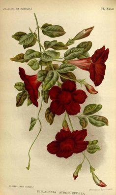 Mandevilla atroviolacea as Dipladenia atropurpurea (Lindl.) Lemaire] L' Illustration horticole, vol. 42: t. 33 (1895)