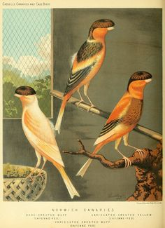 → Norwich Canaries | Cassell's Canaries & Cage-birds 1884