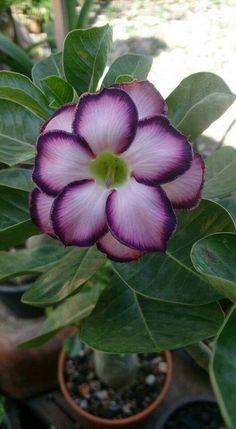 Purple Desert Rose
