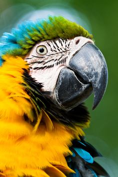 yellow macaw by Marcial Quintero