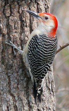 Red-bellied woodpecker. A regular in the from yard. They like to announce their arrival before coming to the feeder. Another one that's fun to watch feed their young.