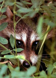 .Love raccoons.. had a pet in the country a long time ago. was such a fun little animal..