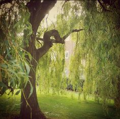 Love willow trees