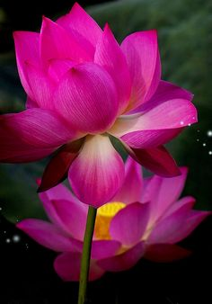 #Pinks #lotus #flower
