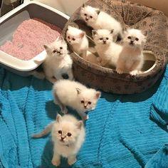 All seven in the front Lilac Clementin Häagen Dazs Pink Apelsin Ben&Jerry's Mormor Magdas Mandarin and at the top Lejonet&Björnen #minivaniljerna2017 #minimazarinerna2017 #haagendazs #mormormagdas #benandjerrys #lejonetochbjörnen #birma #birman #breeder #catsofinstagram #chokladochvanilj #kitten #pinkalicious #welovecats #we_love_cats #excellent_kittens #excellent_cats #birman_feature #birman_cats_lovers #birmans #birmavanner #birmancat