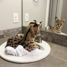 Image in animals❣ collection by tashotto on We Heart It Animals And Pets, Baby Animals, Cute Animals, Nature Animals, Serval Cats, Exotic Cats, Exotic Fish, Cat Photography, Savannah Chat