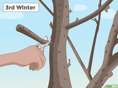 How to Prune a Fig Tree: 11 Steps (with Pictures) - wikiHow Fig Fruit Tree, Fruit Tree Garden, Pruning Fruit Trees, Tree Pruning, Fruit Plants, Garden Trees, Pomegranate Farming, Fig Bush, Heron Fountain