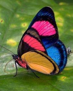 Most Beautiful Butterfly, Beautiful Bugs, Cute Butterfly, Butterfly Wings, Butterfly Kisses, Beautiful Creatures, Animals Beautiful, Cute Animals, Butterfly Chrysalis