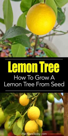 Lemon trees, their fragrant, white blooms, sweet smelling and alluring quality makes you want to own their own tree from seed. Too hard to do? [LEARN HOW]