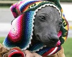 """Peruvian Hairless Dog, the Lord of Sipan and the stone citadel of Machu Picchu are the three main sources of pride of Peru, revealed the contest """"the 10 pride of Peru"""" convened by the virtual page of the Municipality of Lima, promoter of the event ."""