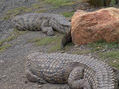 Crocodile attacks shark | crocodiles alligators