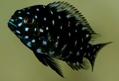 Aquariums Provide Relaxing Entertainment Owning a fish aquarium can be a very relaxing hobby. Cichlid Aquarium, Cichlid Fish, Aquarium Fish, Tropical Freshwater Fish, Freshwater Aquarium, Tropical Fish, Pretty Fish, Beautiful Fish, Guppy