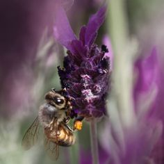Bees love lavender! Consider growing this fragrant flower in your urban garden.