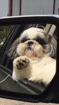 best picture ideas about shih tzu puppies - oldest dog breeds #ShihTzu