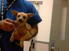 HERA (A719289)FemaleTanTerrier mix4 months old02/22/2013Contra Costa County Animal Services - Martinez