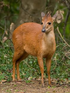 Red Forest Duiker, Natal Duiker, or Natal Red Duiker (Cephalophus natalensis) is. African Animals, African Safari, African Antelope, Wild Creatures, Animal Facts, Animals Of The World, Farm Animals, Animal Photography, Pet Birds