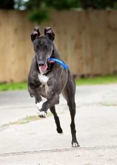 """Black Greyhound running...this is how our dog Lacey would look when she got away from us.  """"Oh, boy!  I'm free!!!!!"""""""