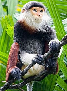 Douc Langur Monkey | Langurs - Large, Long-limbed and Handsome