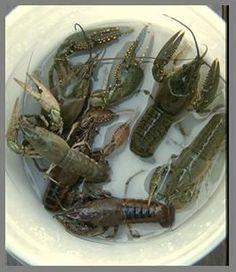 Raise giant freshwater crayfish- easily! | aquaponics