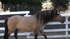 California vaquero horse