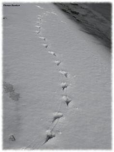 Empreinte de patte d'une corneille noire.  Carrion crow by Thomas Humbert