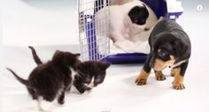 Watch What Happens When Kittens Meet Puppies For The First Time.