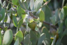 Trade Winds Fruit - Simmondsia chinensis - Jojoba Nut, $2.00 (http://www.tradewindsfruit.com/simmondsia-chinensis-jojoba-nut-seeds)