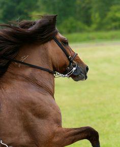 Icelandic horse  www.ilove.is - visit us :-)