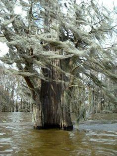 Bald cypress in Henderson Swamp, Henderson, St. Martin Parish, Louisiana, United States, 2010, photograph by Tim B.