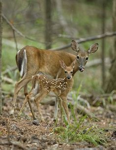 this-is-wild: Doe and Fawn(Kelli Williams)