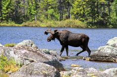 Duck, Duck, Moose in Millinocket, Maine