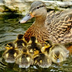 "Mallard duck w/her ducklings / ""Stay close. Cute Baby Animals, Farm Animals, Animals And Pets, Funny Animals, Cute Ducklings, Duck And Ducklings, Pato Animal, Beautiful Birds, Animals Beautiful"