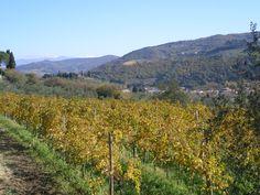 A Sangiovese vineyard in autumn
