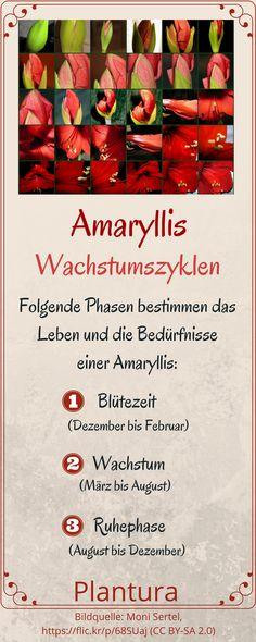 Wachstumszyklen der Amaryllis - bei Plantura erfahrt Ihr mehr!