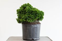 #Bonsai buying guide: check the surface roots