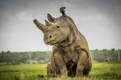 »  SUDAN ,,The Last Northern White Rhino on the on the Savannah