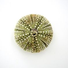 urchin.