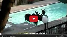 Can YOU IMAGINE Waking Up to a Moose in Your Pool?!