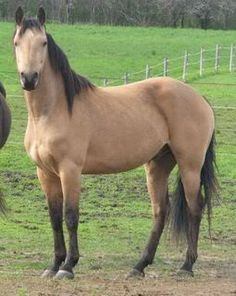 morgan buckskin gelding- my dream horse (but I'll probably end up with whatever I find to rescue!)