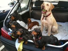 Labradors and dachshunds!!! My favorite combo!!!