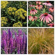 Summer Blooming Plant Combo for Hot Spot   eGardenGo   Plan now for summer blooms! Bupleurum fruticosum, Carex testacea, Echinacea, Salvia 'Caradonna'