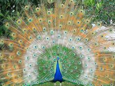 Beautiful Green Indian peacock