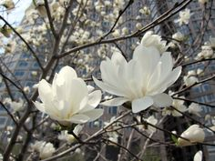 magnolia stellata | Life in the Greenway: What's in Bloom