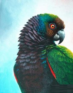 Imperial Parrot..
