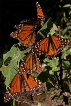 Monarch Butterflies, Sierra Chincua, Michoacan, Mexico