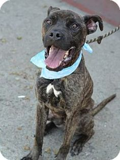 Westerly, RI - Boxer/Bullmastiff Mix. Meet Hennessy Box a Dog for Adoption.